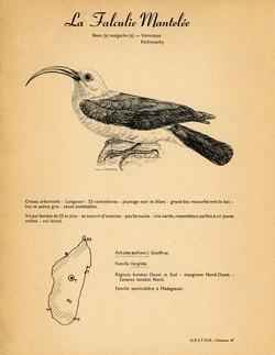 47. La Falculie Mantelée / 48. Le Zosterops ou Oiseau à lunettes
