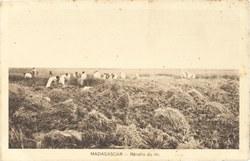 Madagascar: Récolte du riz