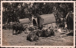 Zebu resting with covered carts