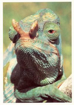 Parson's Chameleon: Chameleo parsonii [Calumma parsonii], Madagascar