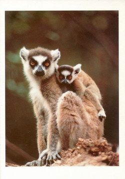Ring-Tailed Lemurs: Lemur catta, Madagascar