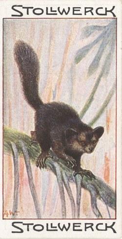 L'Aye-Aye: (Chiromys madagascariensis)